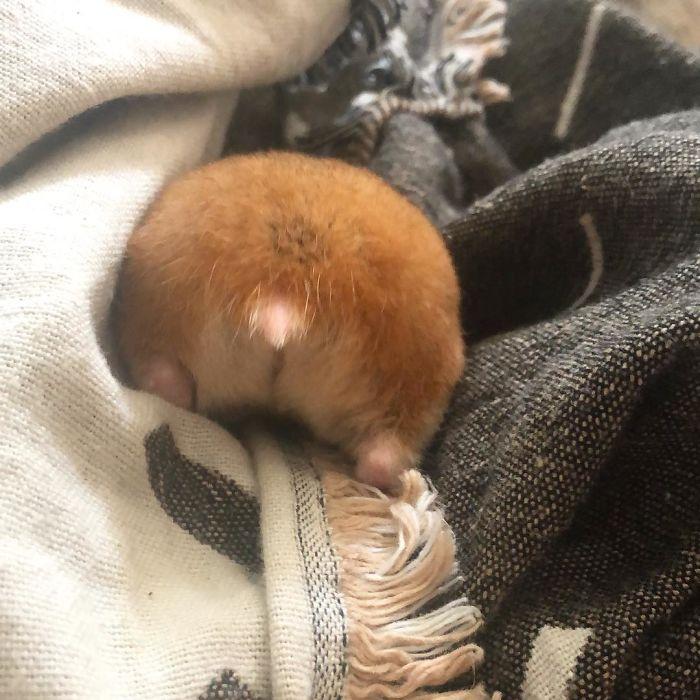 orange hamster posterior