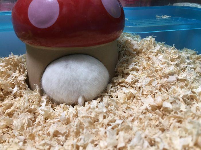 plump white hamster in mushroom house