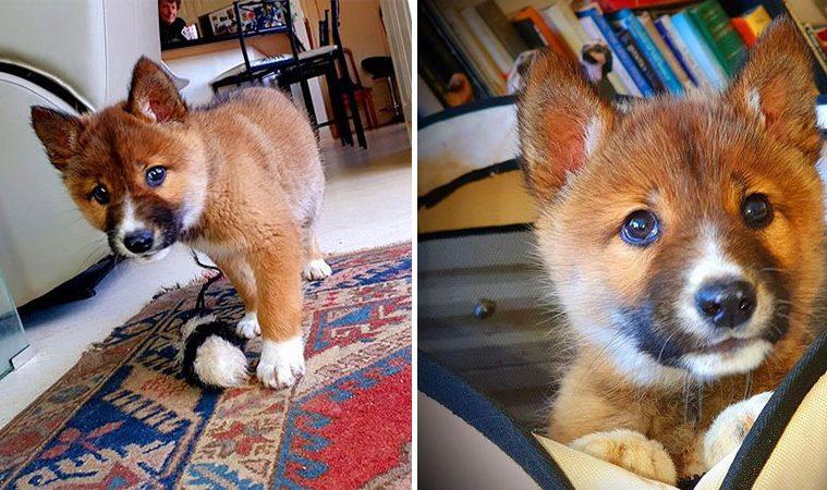 rare Dingo