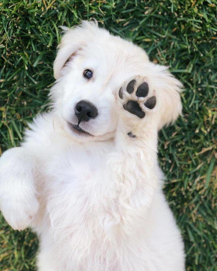 retriever pup says hi