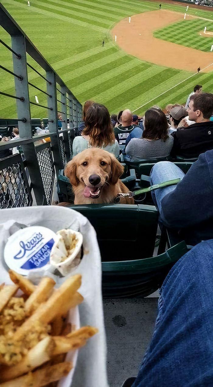 retriever stares at baseball fan who has food