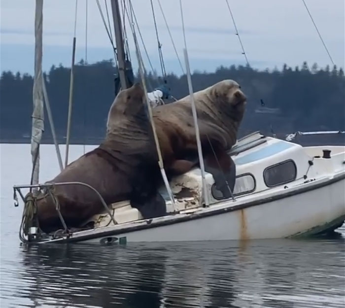 sea lions tipping over the boat