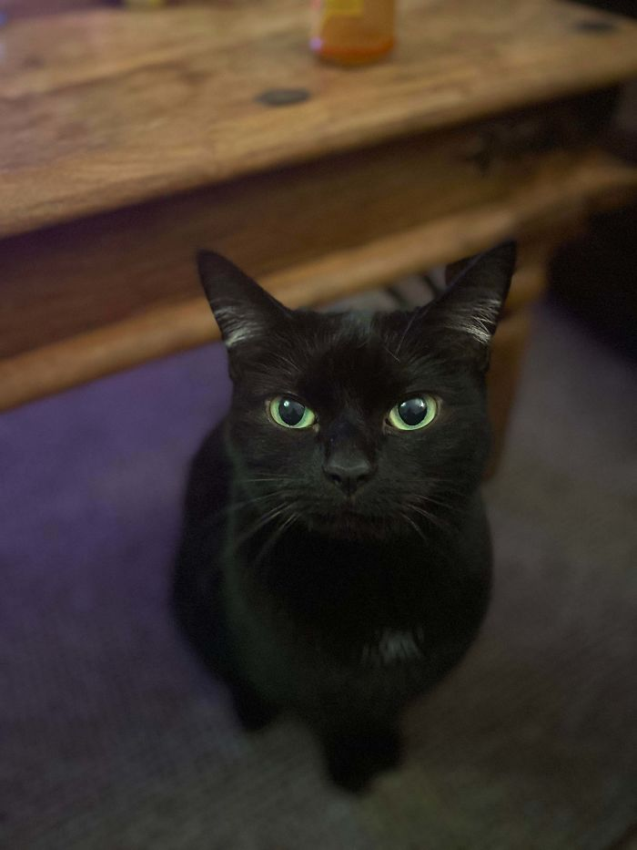 shelter animal adopted beautiful black cat