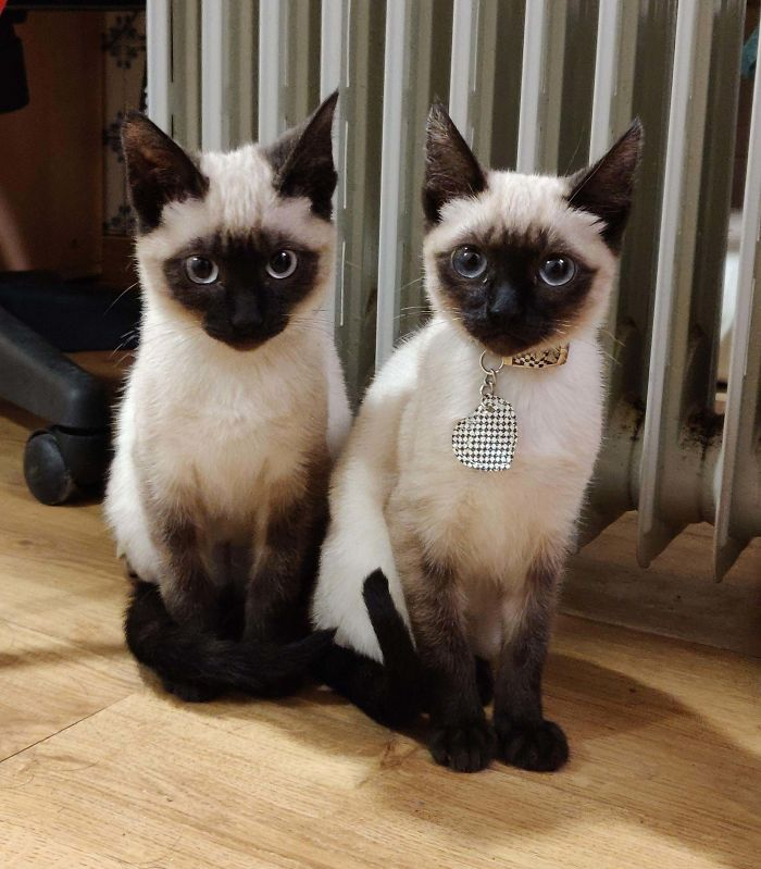 shelter animal adopted sibling cats