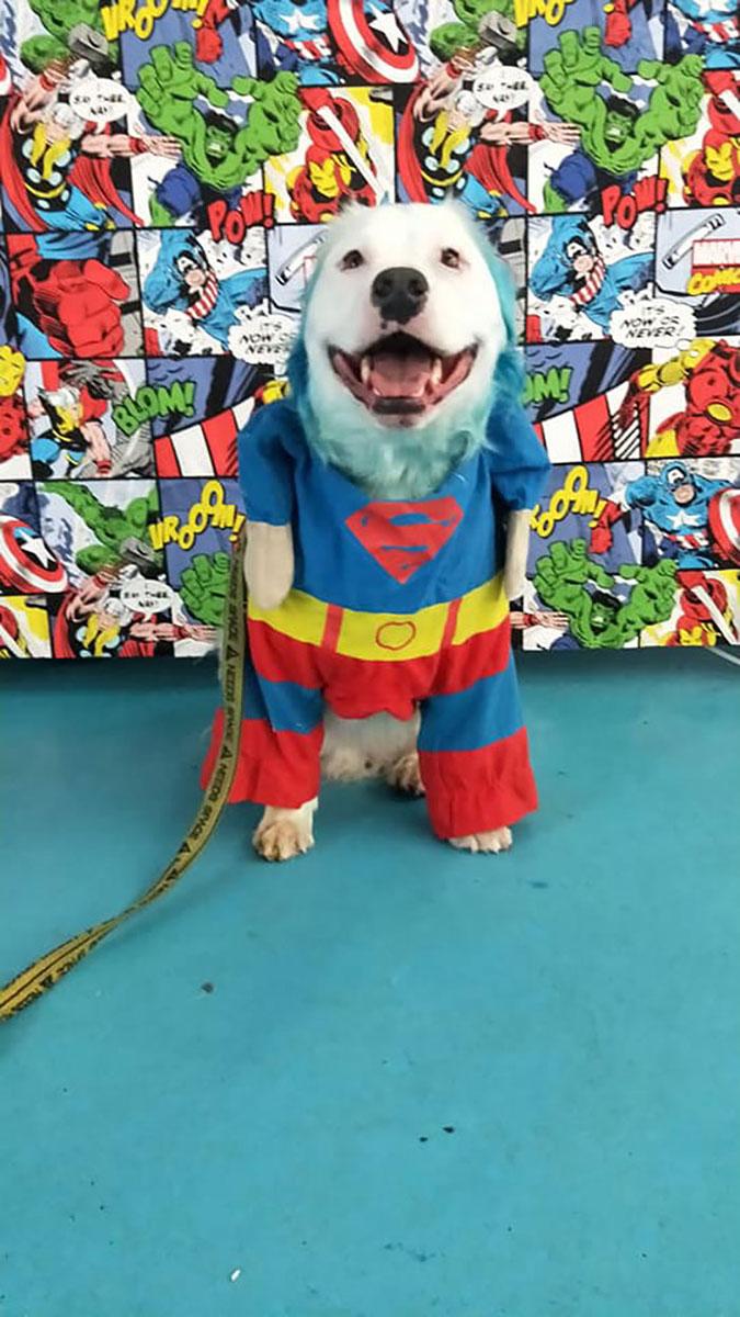 sheryl dresses him up as superman or superdog for halloween
