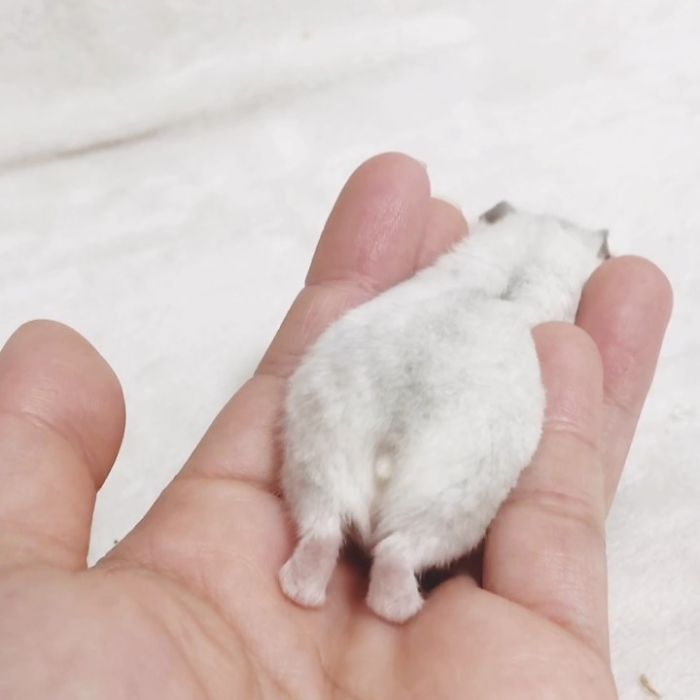 silvery hamster stretches and shows his fluffy backside