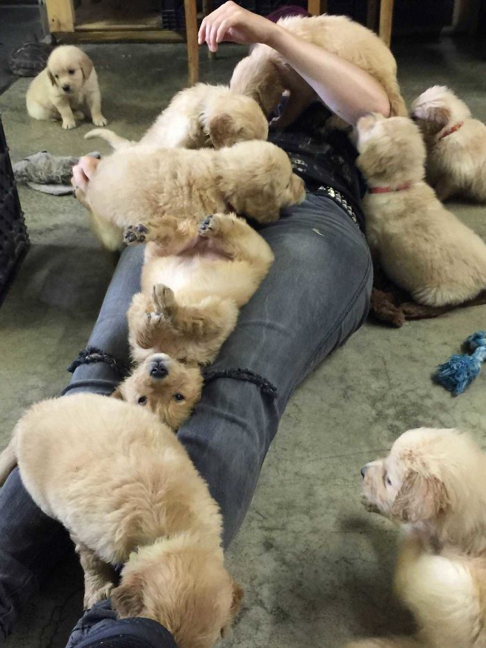 someone's friend buried in an avalanche of retrievers