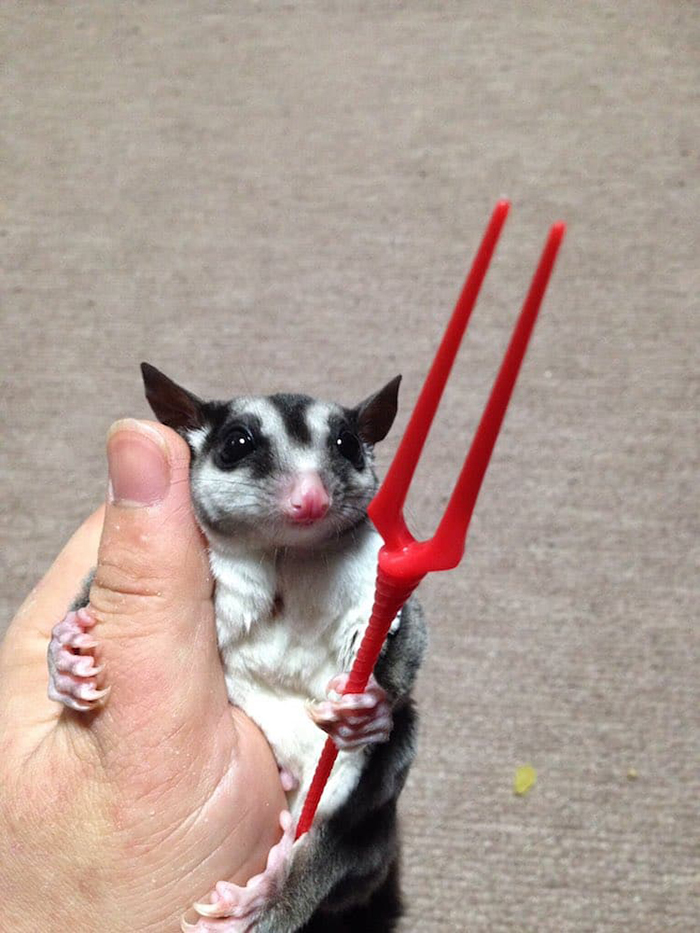 sugar glider holds a weapon