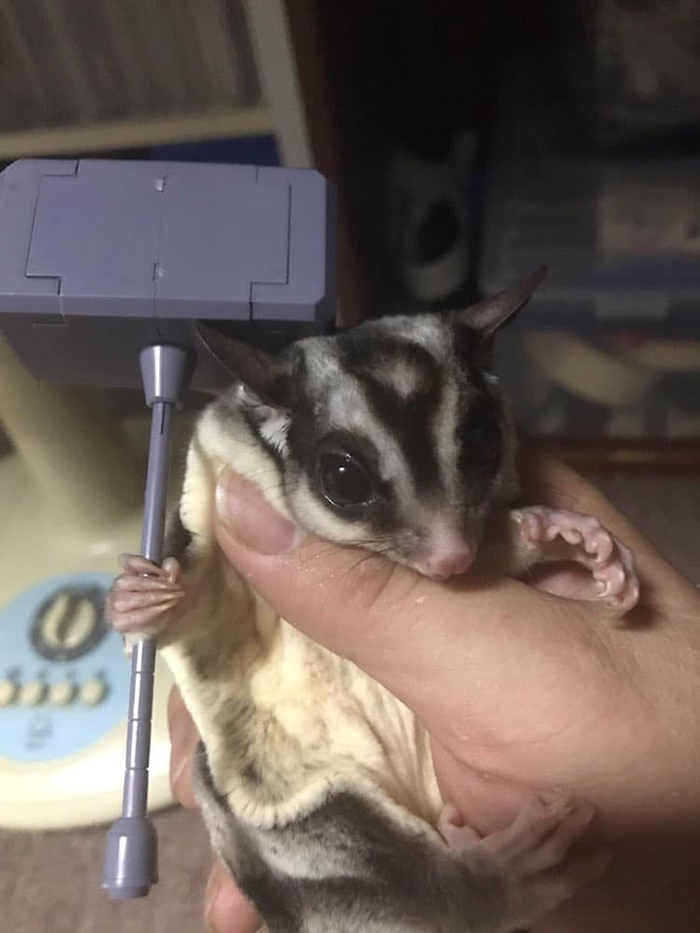 sugar glider with huge hammer