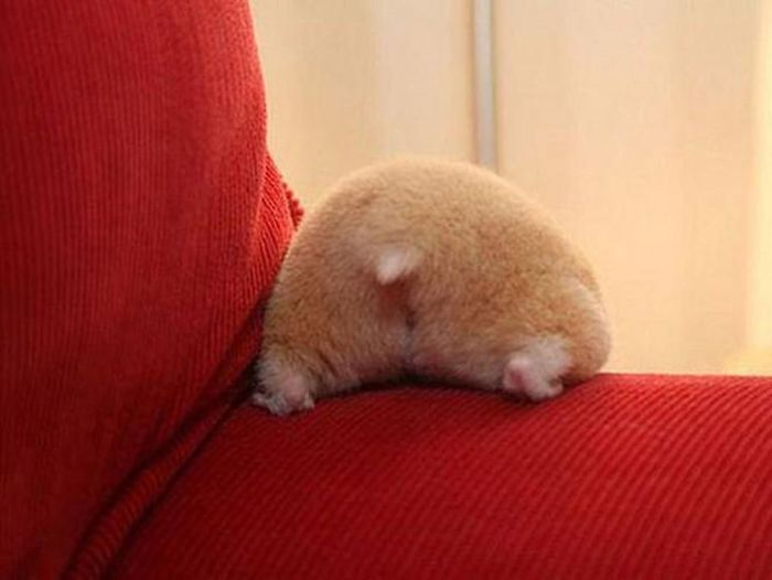 the fuzziest hamster bum of them all