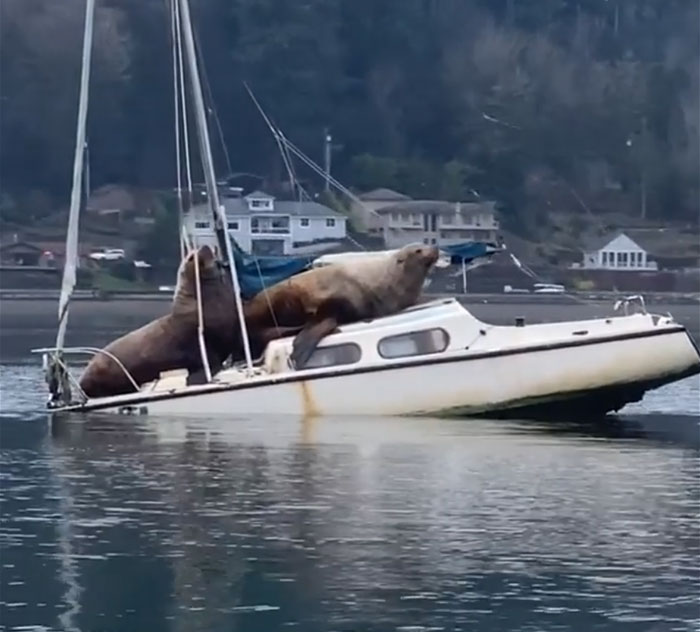 the sea lion in front moves toward the boat's cabin