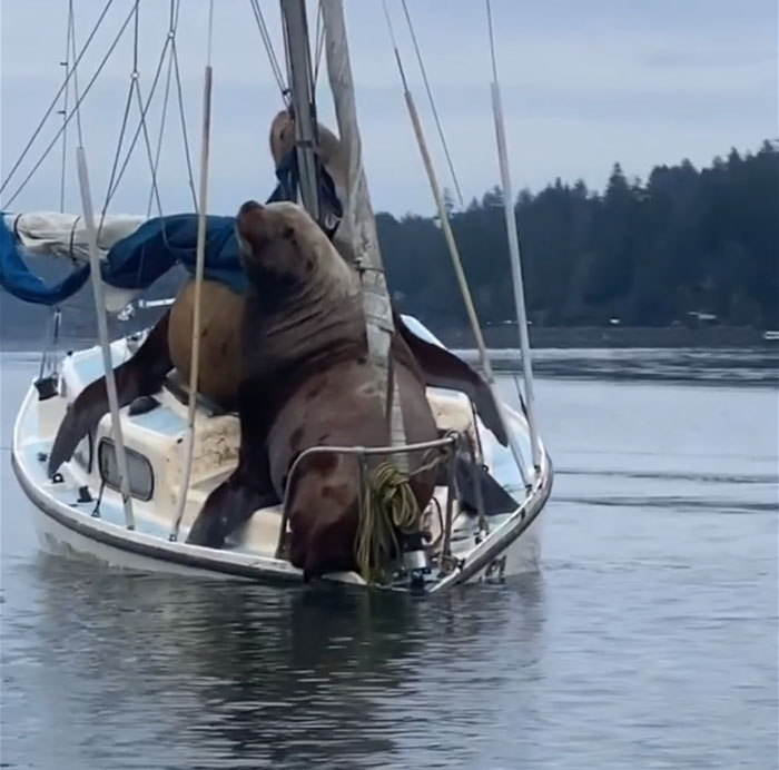 the tiny boat sinks under the combined weight of the sea lions on board