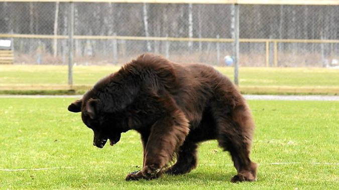 this is a newfoundland dog not a bear