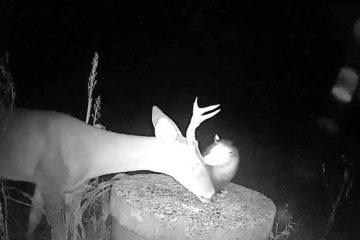 trail cam Opossum deer
