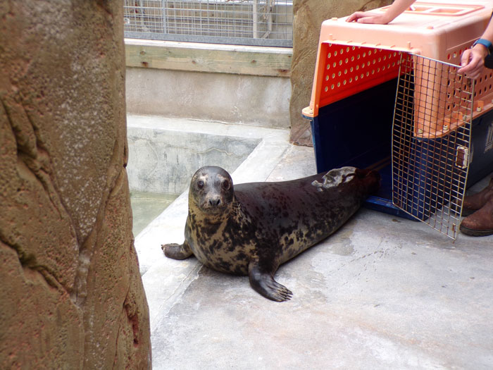 Aayla the Seal Puppy at the Cornish Seal Sanctuary