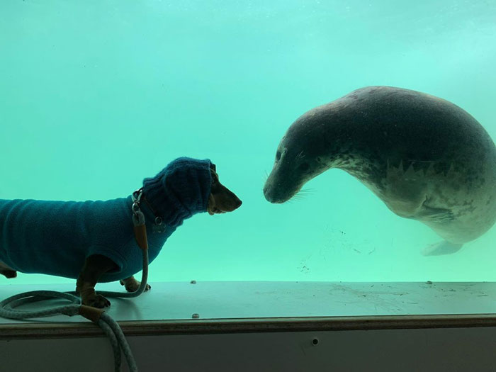 Dachshund Named Stanley Interacting with Seal Puppy Named Aayla
