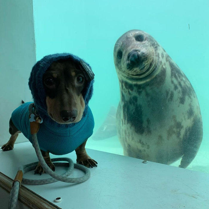 Dachshund Named Stanley and Seal Puppy Named Aayla Posing for the Camera