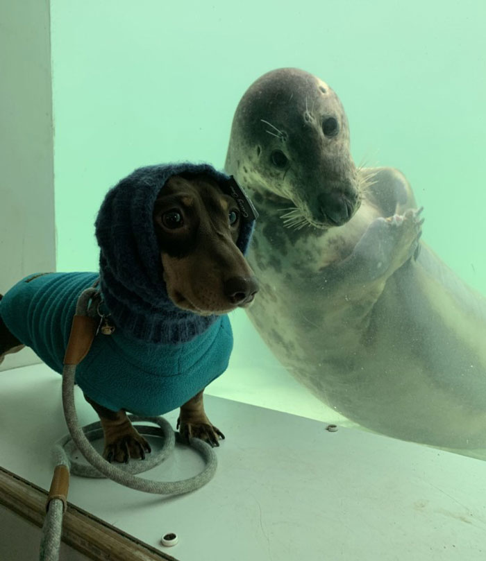 Dachshund and Seal Puppy Posing for the Camera