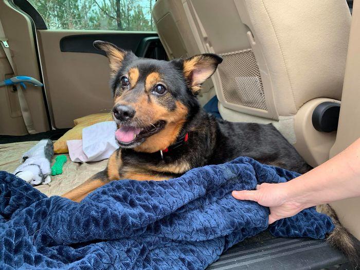 Dog Bandit inside Car