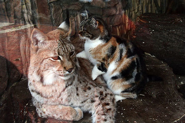 Dusja lays on Linda the Lynx's belly