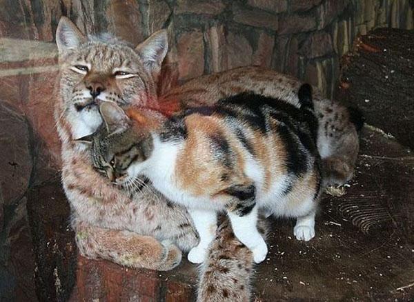 Dusja rubs against Linda the lynx