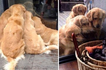 Golden Retrievers photos