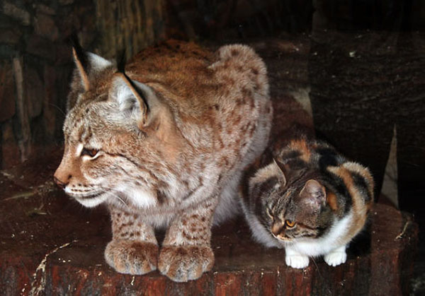 Linda the Lynx and Dusja the Domestic Calico Cat doing the loaf position