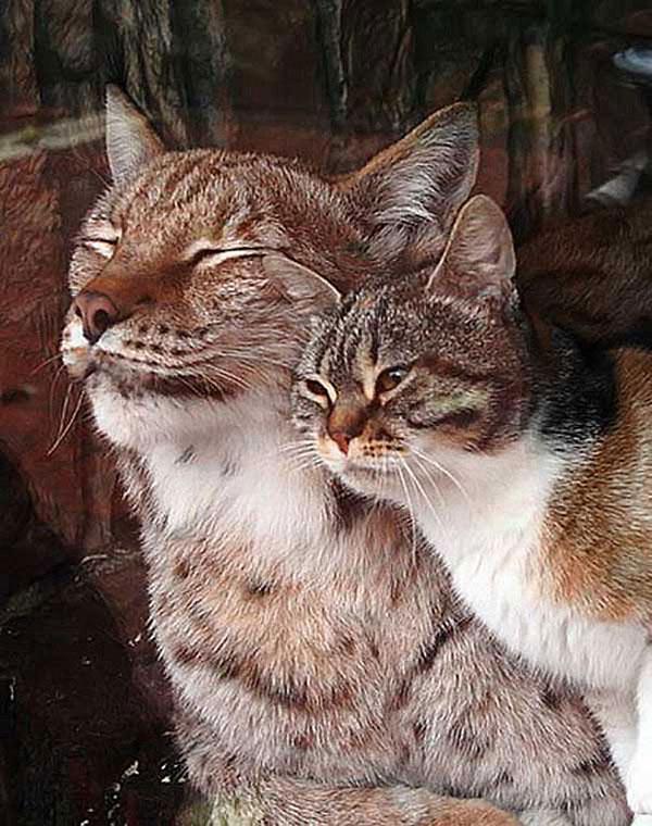 Linda the lynx and dusja rub faces