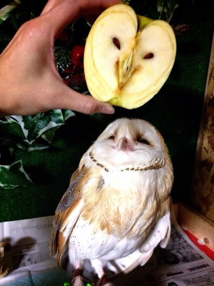 Owl That Looks Similar to a Sliced Apple