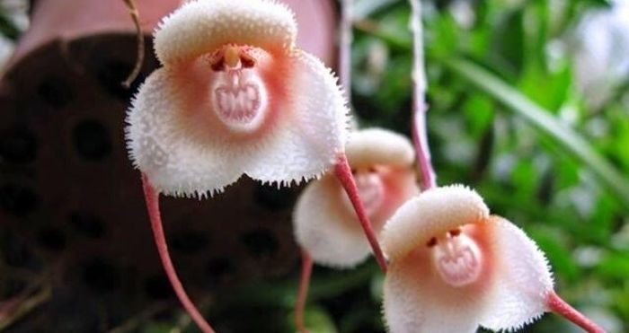 Rare Dracula Orchids