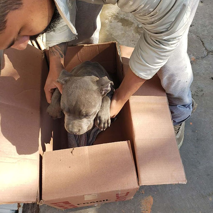 Rene the pit bull pup found by Xollin rescuers in his box