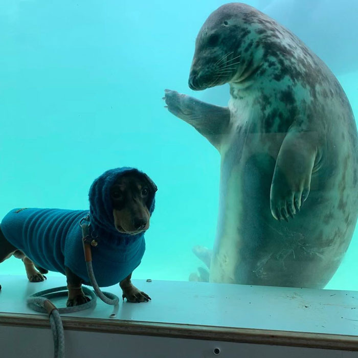 Seal Puppy Named Aayla Greeting Dachshund Named Stanley