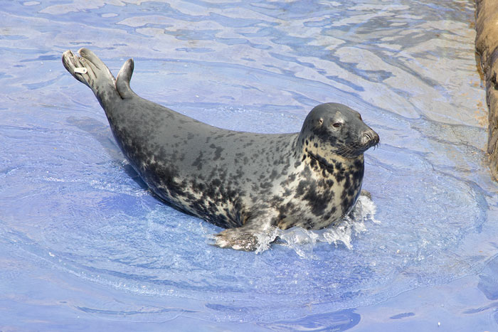 Seal Puppy Named Aayla at the Cornish Seal Sanctuary