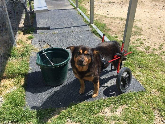 Special Needs Dog on a Wheelchair