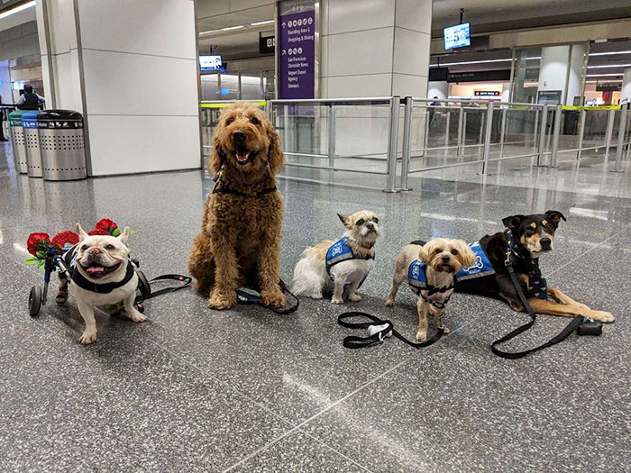 Wag Brigade at San Francisco International Airport Consisting of Certified Therapy Dogs