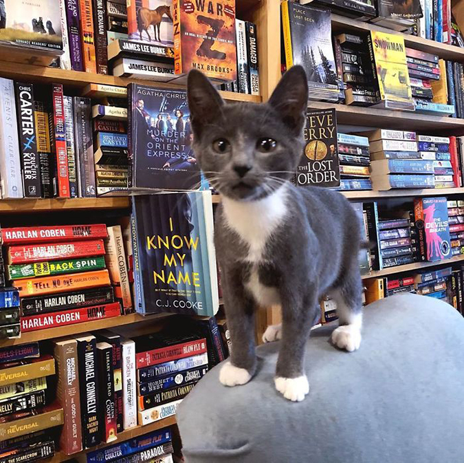 a dapper grey kitten stands atop a chair