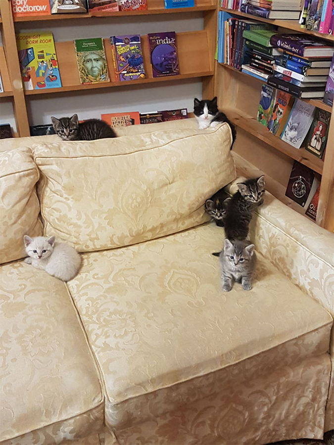 a litter of kittens gambole on a cream colored couch inside the bookstore