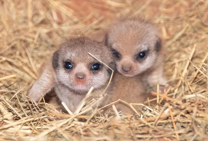 adorable baby meerkats