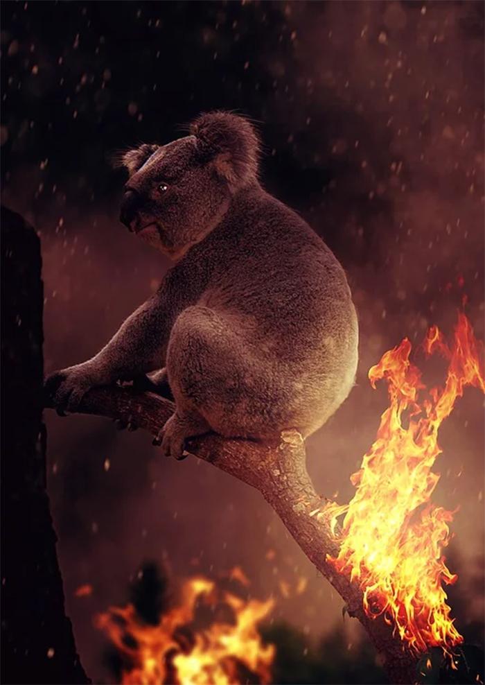 australian bushfires koalas