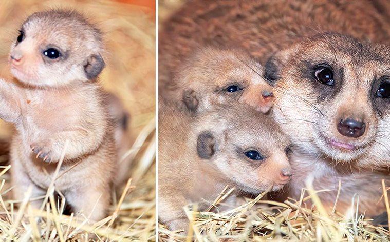 baby meerkat photos