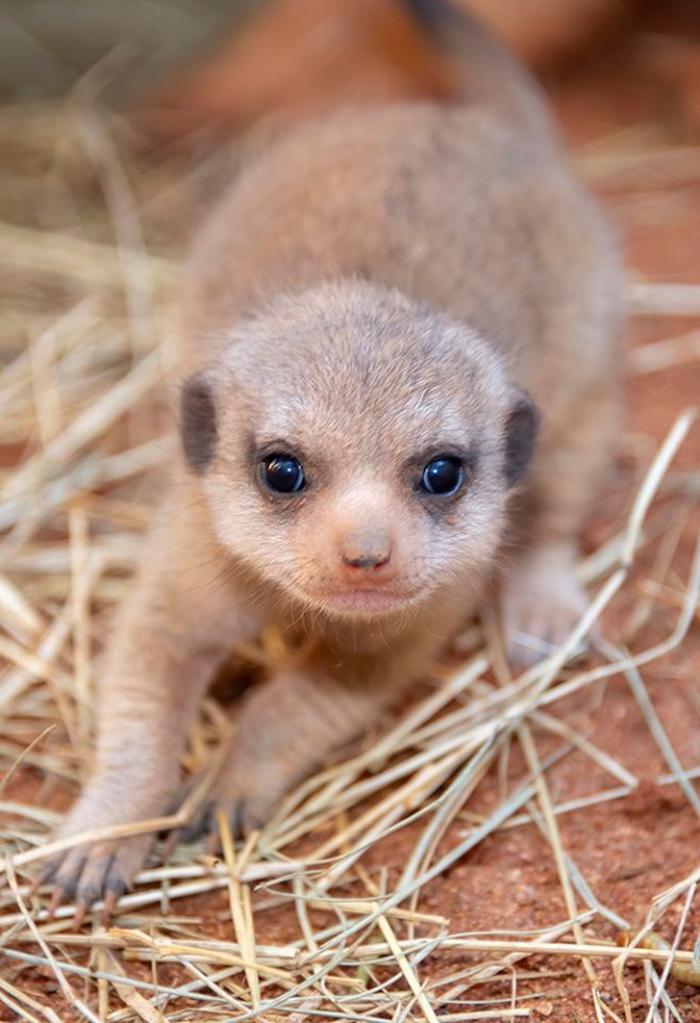 baby meerkat zoo miami