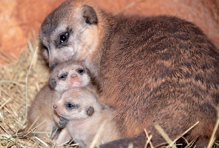 baby meerkats with their mom
