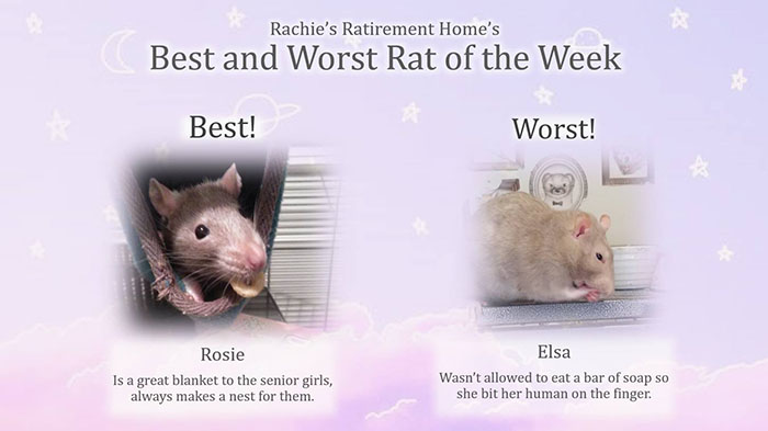 best and worst rat of the week for first week of august 2018