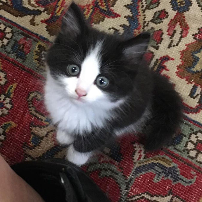 black and white kitten stares at camera