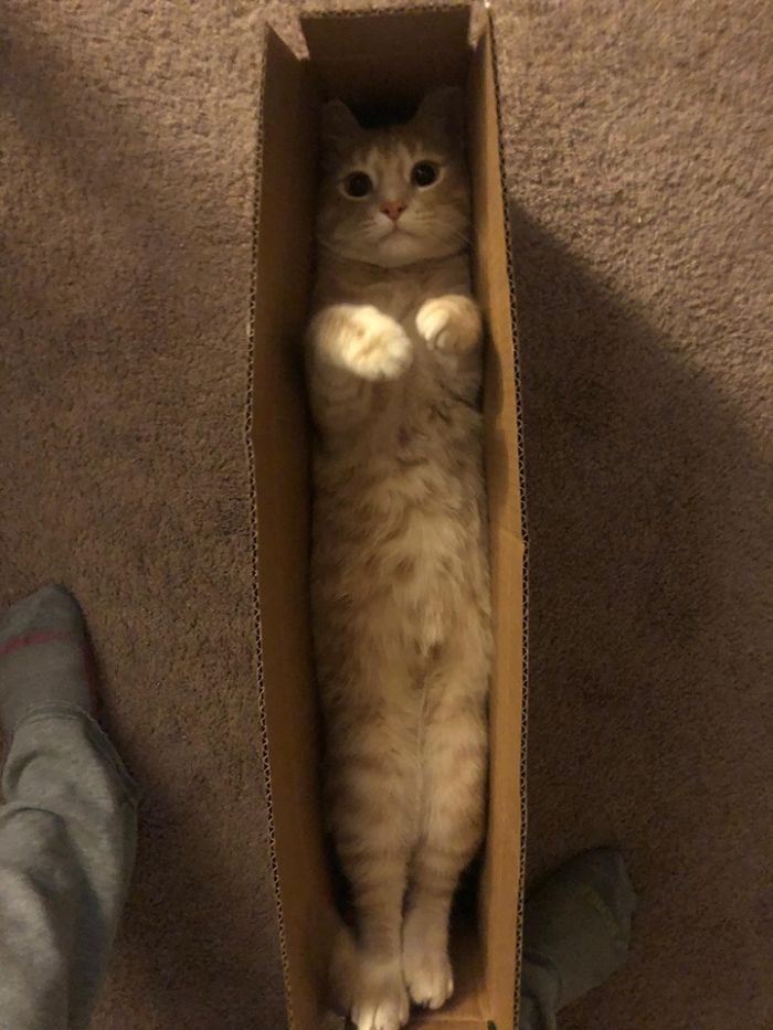 cats stretching fit in a box