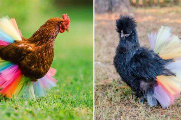 chicken tutus