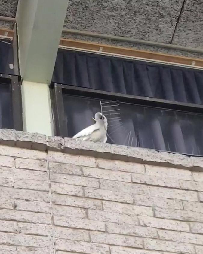cockatoo removes anti bird spikes on a ledge