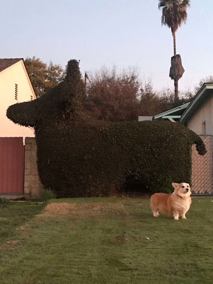 corgi-inspired lawn neighbor