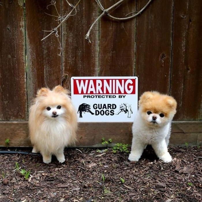 cute guard puppies