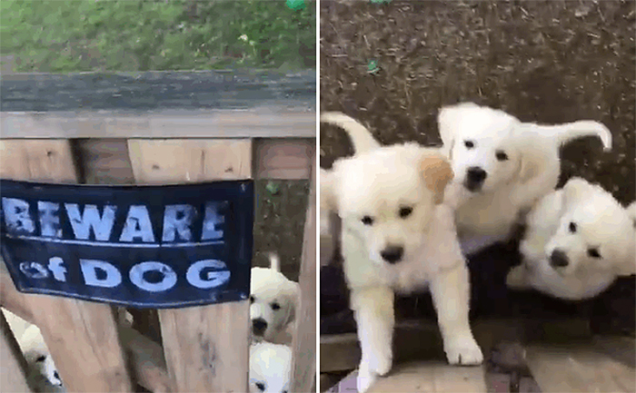 cute puppies behind warning sign